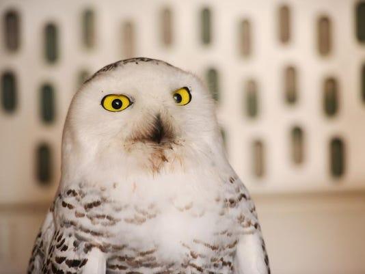 snowy_owl_01.jpg