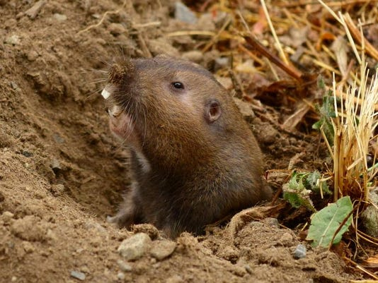 SAL0307-RL pocket gopher MAIN.JPG
