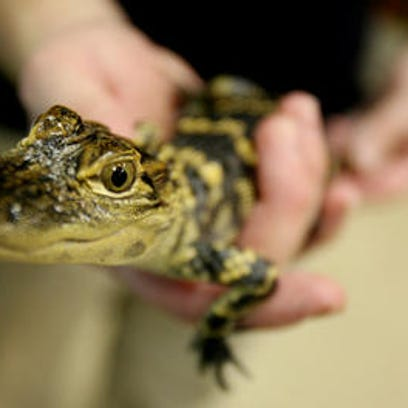 Blue, a baby American alligator was one of the amphibians