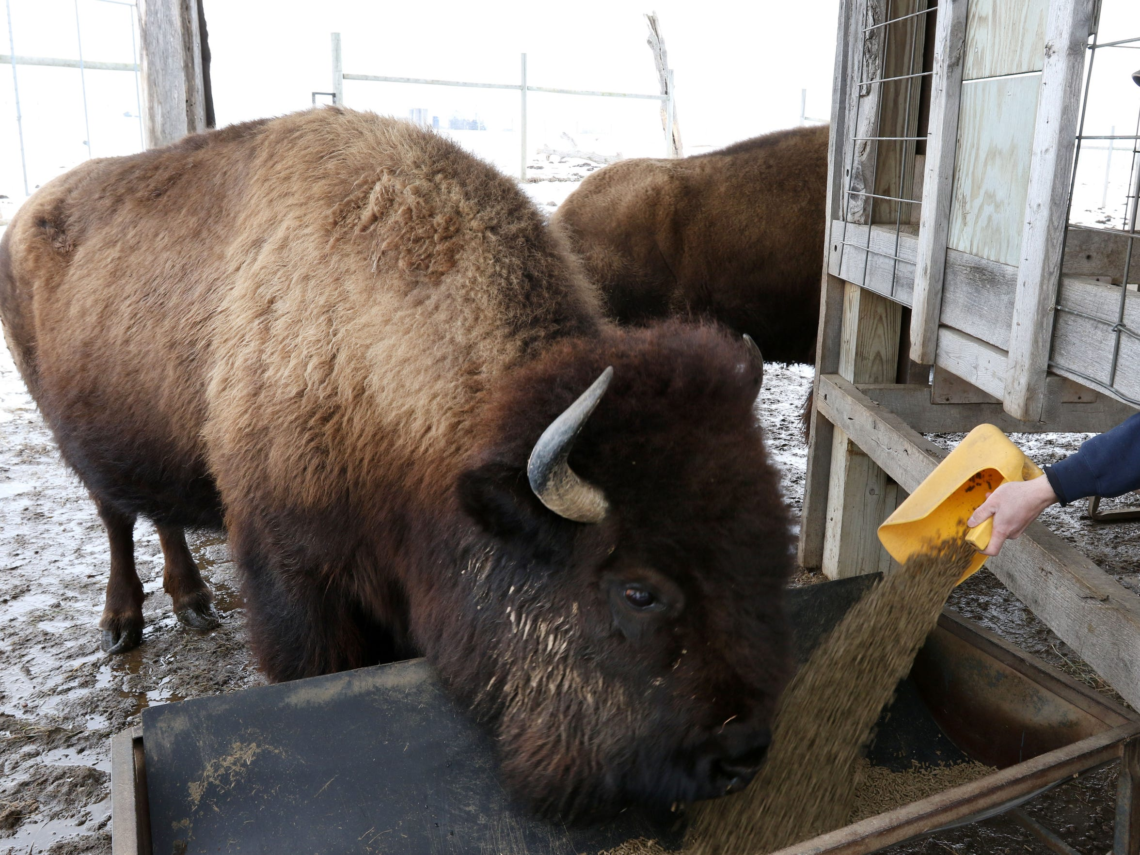 A bison eats while Steve Burns, zookeeper at the Wildwood