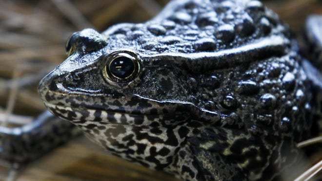 File-This Sept. 27, 2011, file photo shows a gopher frog at the Audubon Zoo in New Orleans. Federal officials are proposing changes to how the endangered species act is used following a U.S. Supreme Court ruling on habitat for the frog.