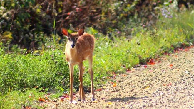 Deer in Starksboro