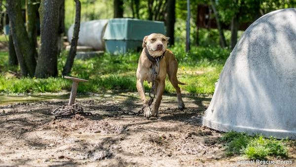 One of the dogs rescued from a suspected Mississippi fighting operation.