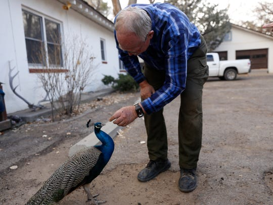 Tommy Bolack plays with one of his pet peacocks on Monday at his home in Farmington.