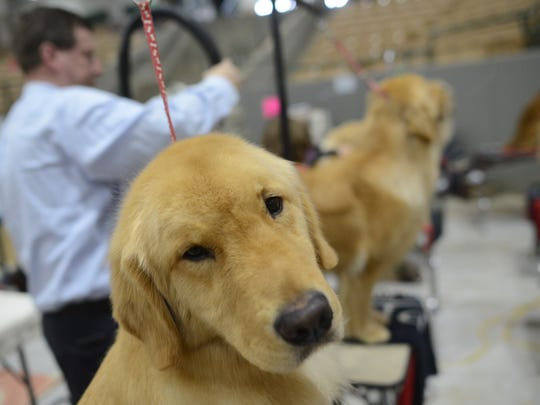 Avian waits his turn at a dog show last year at the Williamson County Ag/Expo Park in Franklin. The Nashville Kennel Club/Tullahoma Kennel Club's AKC dog show is March 7-10, and admission is free.