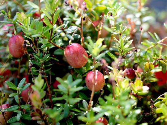 Find out everything you ever wanted to know about cranberries but were afraid to ask during the Wisconsin Women for Agriculture convention in Warrens, Wis.