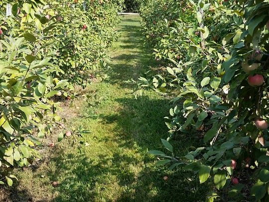 Apple trees at Ten Eyck orchard, where more than 50 varieties are grown.