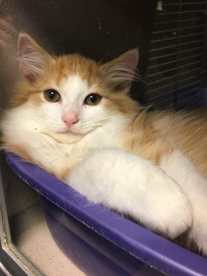 One of 52 kittens currently at Montgomery County Animal Care & Control waiting on an adoptive or foster home.