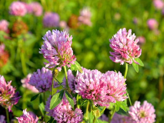 Red clover close up.