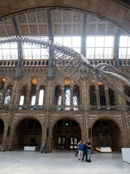 A blue whale skeleton is exhibited in the Hintze Hall