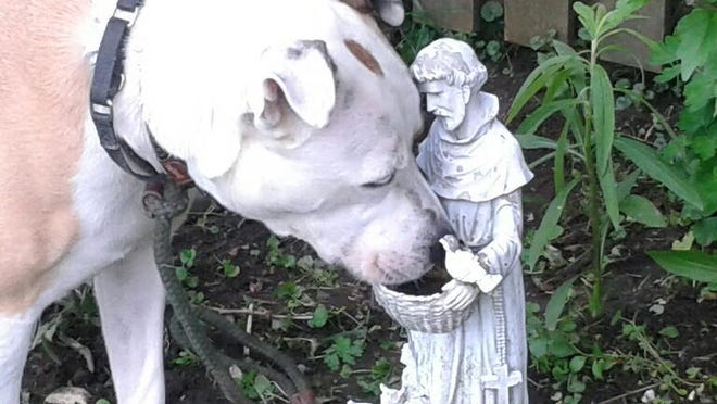 Biscuit takes a drink of water courtesy of St. Francis of Assisi, patron saint of animals.