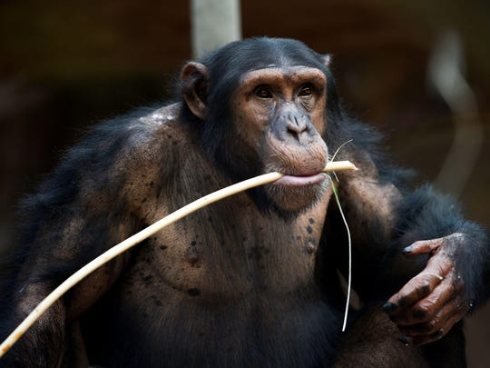 A chimpanzee eats inside its enclosure on August 1, 2018 at The Beauval Zoo in Saint-Aignan-sur-Cher, central France.