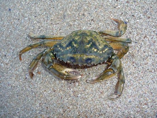 Green Crabs.jpg