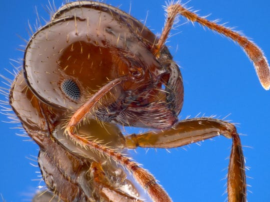 Fire ants were unintentionally brought into the United States aboard a cargo boat from South America. Since arriving in Alabama in the 1930s, the species has spread aggressively in the South.