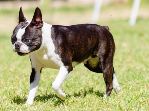 21. Boston terriers • 2016 rank: 21 • 2007 rank: 16
