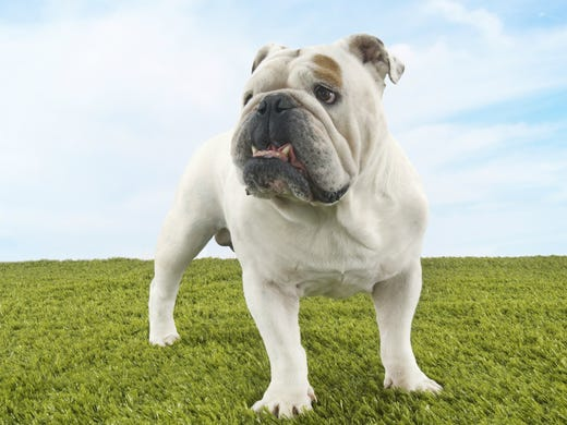 5. Bulldogs • 2016 rank: 4 • 2007 rank: 10 • The bulldog
