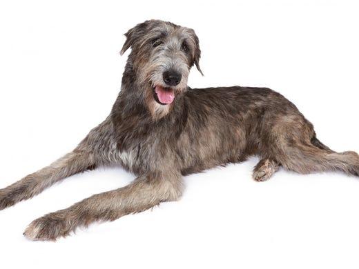 73. Irish wolfhounds • 2016 rank: 73 • 2007 rank: 80
