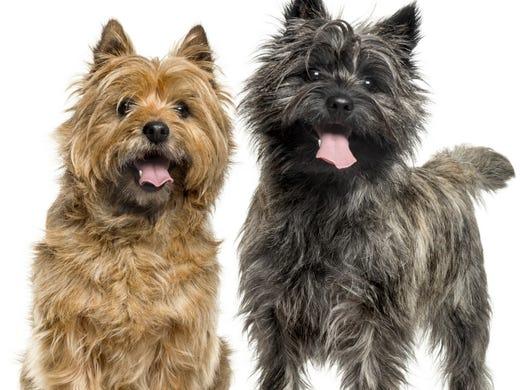 69. Cairn terriers • 2016 rank: 70 • 2007 rank: 48