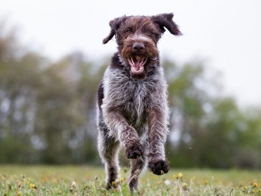 62. German wirehaired pointers • 2016 rank: 64 • 2007