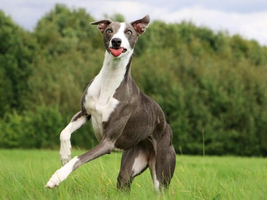 61. Whippets • 2016 rank: 60 • 2007 rank: 61 • The