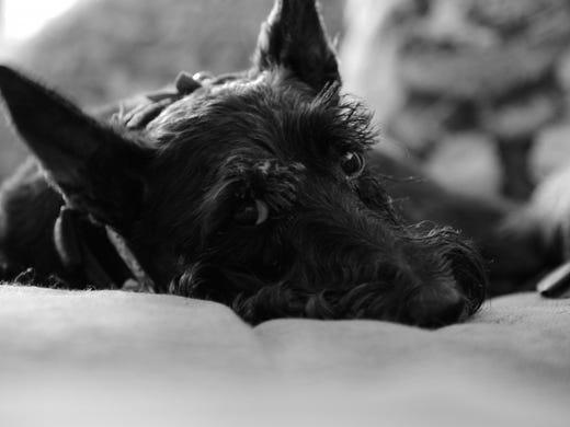 58. Scottish terriers • 2016 rank: 58 • 2007 rank:
