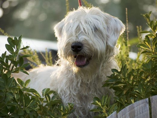 49. Soft-coated Wheaten terriers • 2016 rank: 50 •