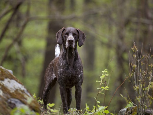 10. German shorthaired pointers • 2016 rank: 11 • 2007