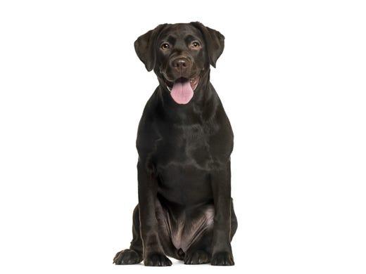 1. Labrador retrievers • 2016 rank: 1 • 2007 rank: