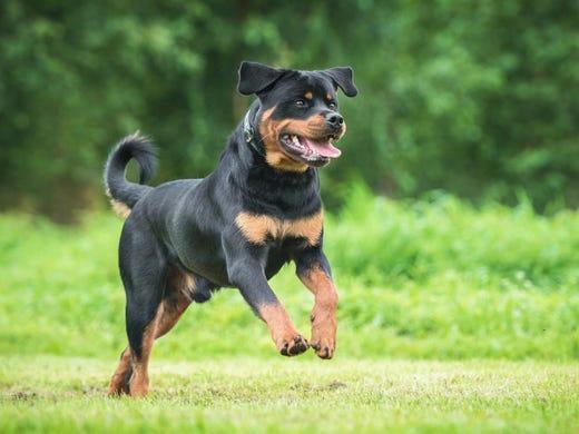 8. Rottweilers • 2016 rank: 8 • 2007 rank: 15 • The