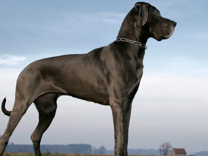 Most Intelligent Dog Breeds Ranking