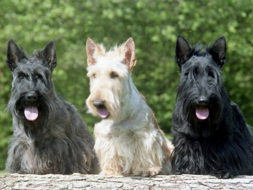 21. Scottish terriers • Average weight (male): 19-22