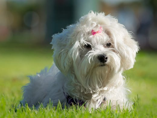 16. Maltese • Average weight (male): Less than 7 lbs.