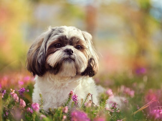 Shih Tzus are the 20th most popular dog in the world.