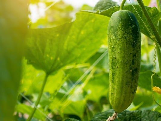 cucumber-plant-in-garden.jpg