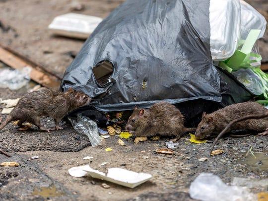 illinois-rats.jpg