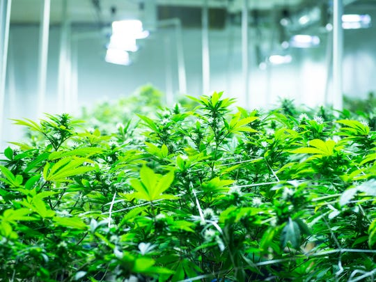 Missouri's Amendment 2 provides for at least 61 licensed marijuana cultivation operations. At least 128 pre-filed application fees for grow operations have been received so far, state officials said on Feb. 7, 2019. This USA TODAY Network photo shows a grow operation owned by Canopy Growth, a major marijuana producer.
