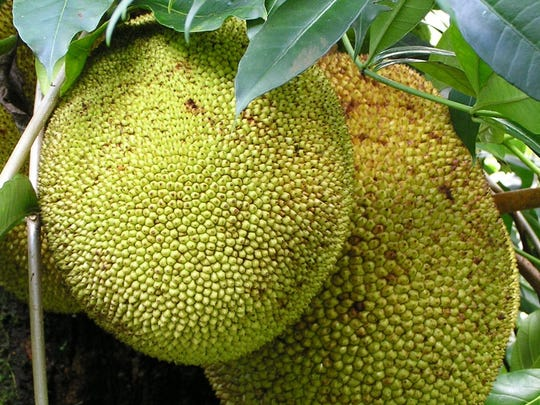 Jackfruit is a nutrition-packed tropical fruit with a dense, fibrous texture that some think it tastes like pulled pork when cooked.