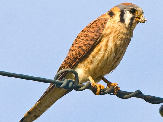 An American kestrel eats an insect, apparently a cricket, in 2008 in Riverside County.