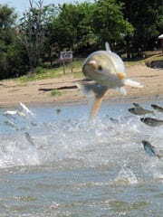 An Asian carp, jolted by an electric current from a research boat, jumps from the Illinois River near Havana, Illinois, in 2012. Researchers reported last week that carp DNA has been found in Lake Calumet in Illinois, just a few miles from Lake Michigan.