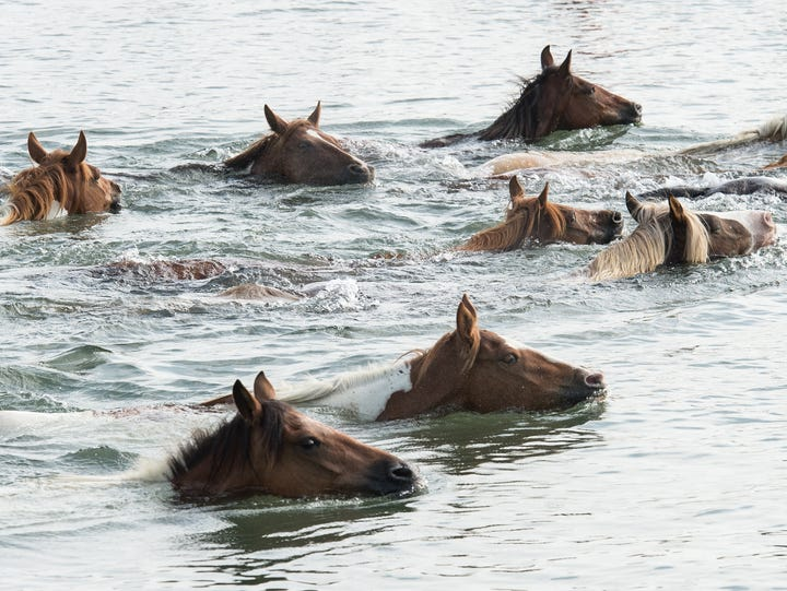 A group of ponies swim through the Assateague Channel