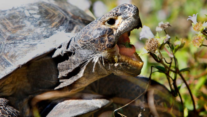 There's a good chance you'll spot a gopher tortoise during the Barrier Island Ramble at Bowditch Point Regional Park.