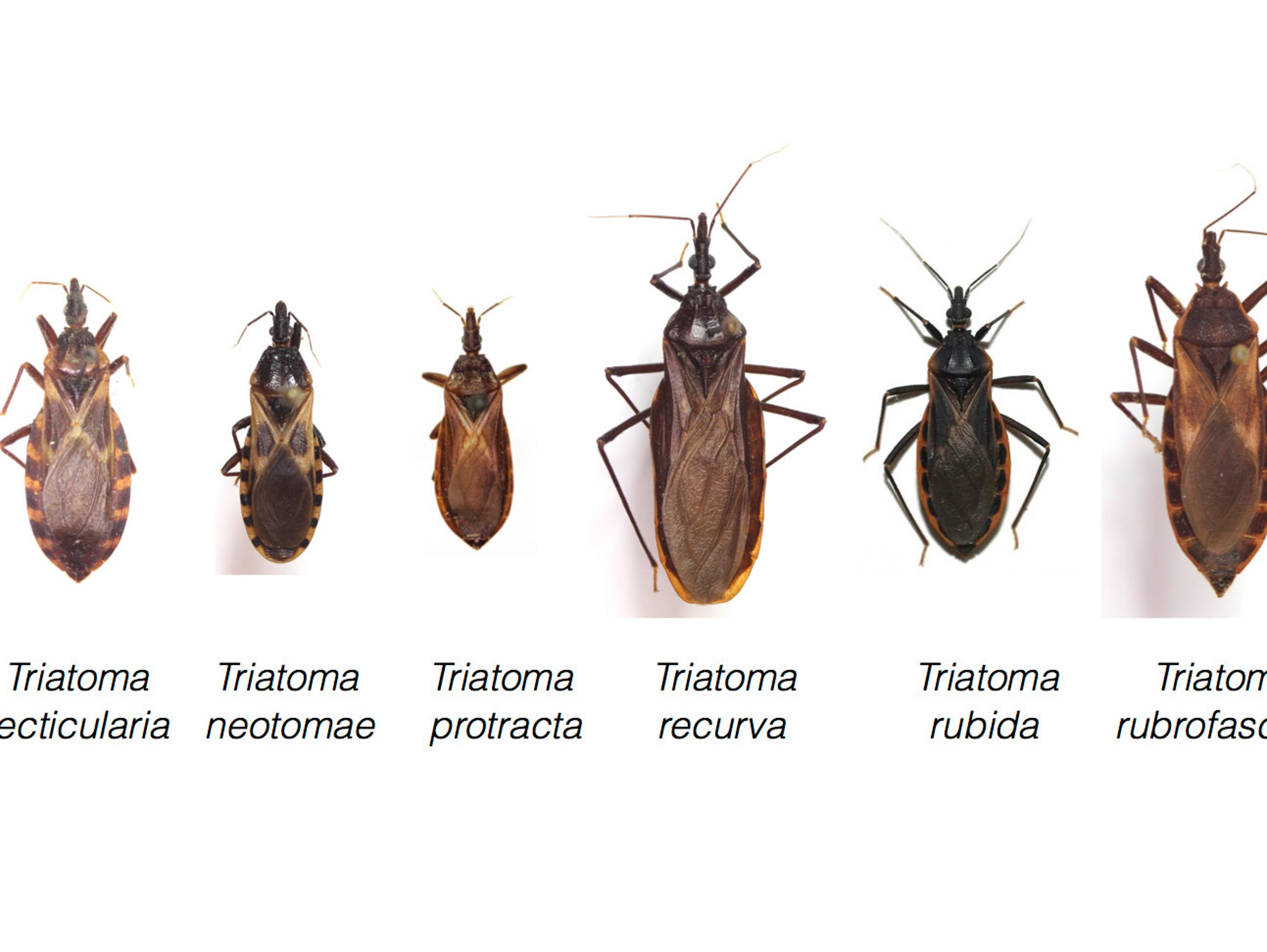 There are many types of kissing bugs, but they all potentially carry the deadly Chagas parasite.