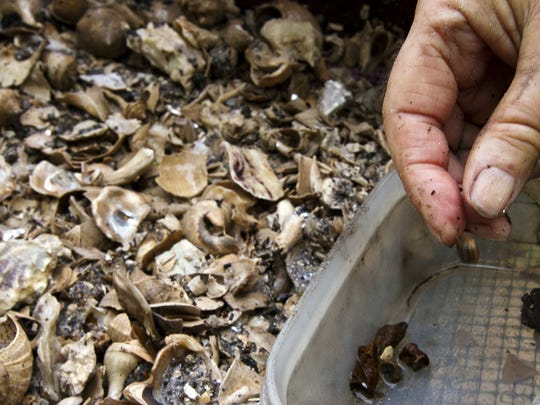 A volunteer carefully cleans and inspects a a small fragment found in the archaeological pit being examined in Pine Island Monday morning.