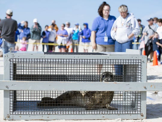 A crowd watched as Lily, a grey seal, is released into