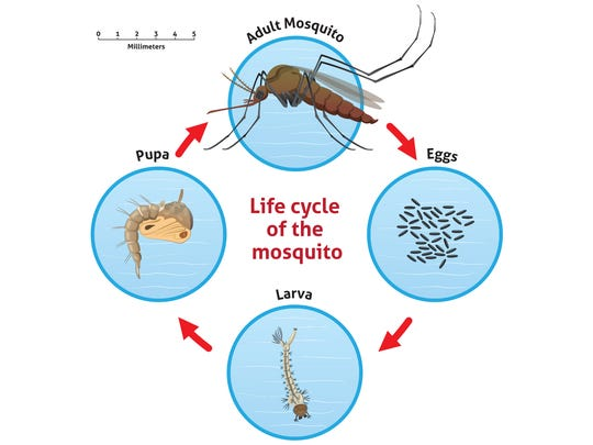 A mosquito can complete its life cycle in five to seven