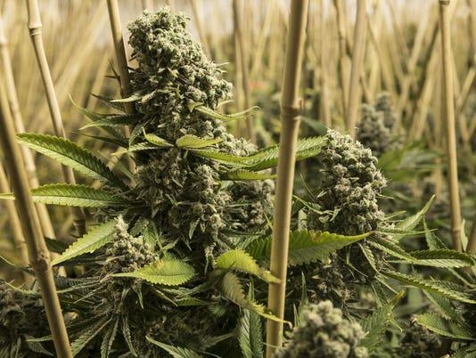 636625994787650454-Marijuana.jpg