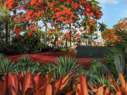 """Royal Poinciana Tree, Palm Beach, Florida"""