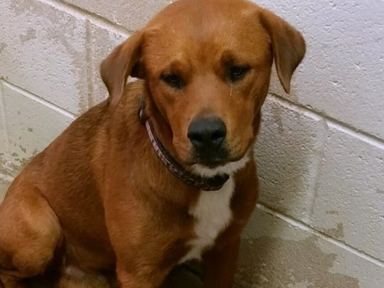This brown and black mixed breed male dog is about a year old. He is a calm and sweet dog. His adoption fee is about $169.38 plus tax. He was left in Animal Control's outside lockup. For more information about adopting a Pet of the Week or other furry friends visit Alamogordo Animal Control, 2910 N. Florida Ave., Monday through Saturday between noon and 5 p.m. or contact them at 439-4330.