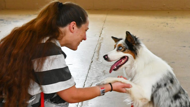 Inmate trustee Anastasia Pacheco works with Lady, an Australian Shepherd as part of the Brevard County Sheriff's Office Paws and Stripes College.