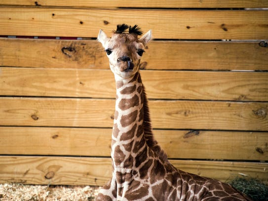 April the giraffe's calf, Tajiri, resides at Animal